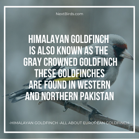 himalayan goldfinch subspecie of european goldfinch found in north and south of pakistan