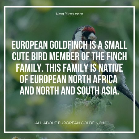 european goldfinch Finches Family