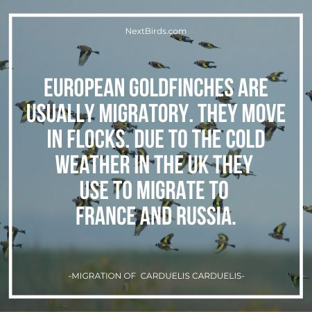 gold finches migrate in flocks