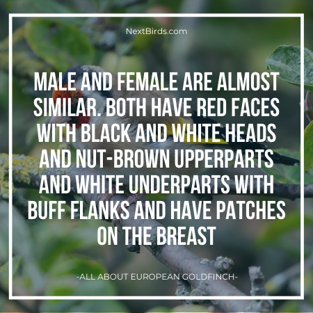 difference between male and female european goldfinch