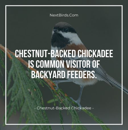 Chestnut BAcked Chickadee is common visitor of backyard feeders