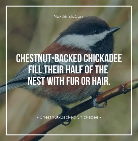 Chestnut Backed Chickadee fill their half of the nest with fur or hair