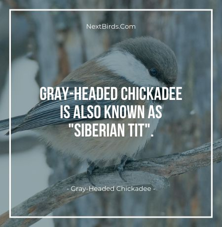Gray Headed Chickadee is also known as siberian tit