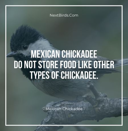 Mexican Chickadee do not store food like other types of chickadee