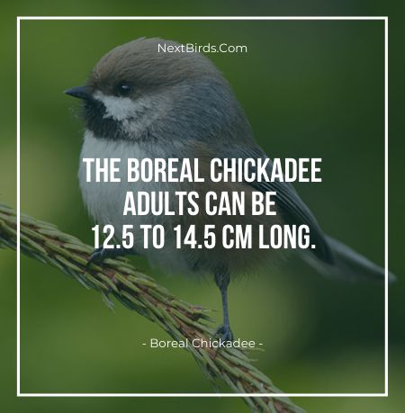 The Boreal Chickadee Adults Can Be 12.5 To 14.5 cm Long
