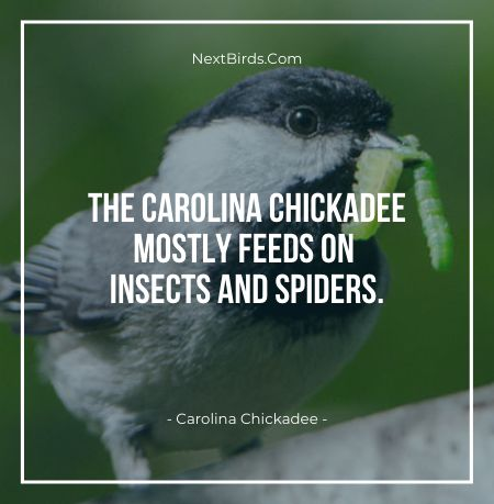 The Carolina Chickadee Mostly Feeds On Insects And Spiders