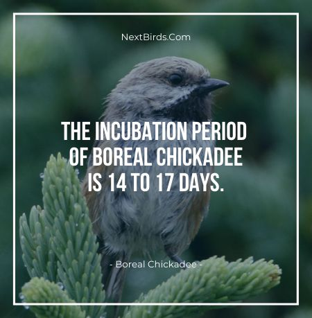 The Incubation Period Of Boreal Chickadee Is 14 To 17 Days