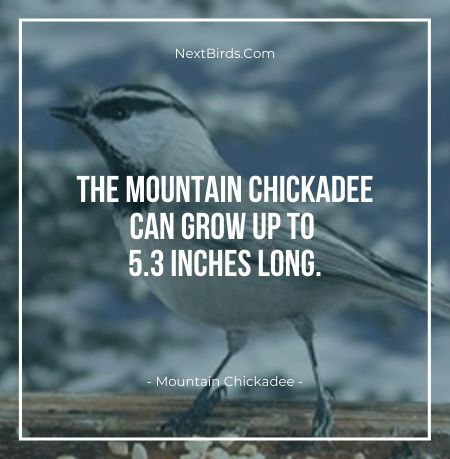 The Mountain Chickadee Can Grow Up To 5.3 Inches Long