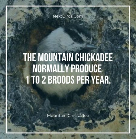 The Mountain Chickadee Normally Produce 1 To 2 Broods per Year